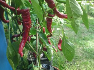 New! Romanian Elephant Trunk Chili Pepper Capsicum annuum - 15 Seeds