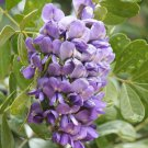 Texas Mountain Laurel Mescalbean Sophora secundiflora - 20 Seeds