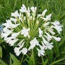 White Agapanthus Snowball Agapanthus orientalis - 10 Seeds