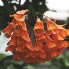 New! Rare Climbing Alstroemeria Bomarea multiflora - 4 Seeds