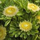 Emerald Isles Green Aster Callistephus chinensis - 25 Seeds