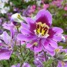 Butterfly Flower Schizanthus wisetonensis - 50 Seeds