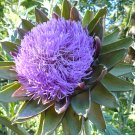 Purple Artichoke Flowers Cynara scolymus - 30 Seeds