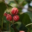 Lollipop Marble Vine Diplocyclos palmatus Rare - 5 Seeds
