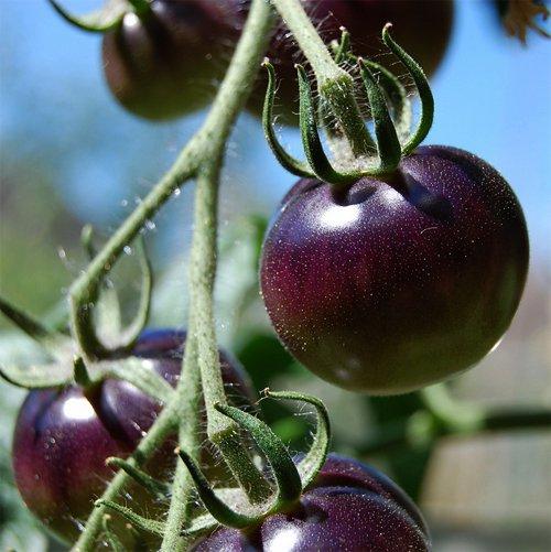 organic black tomato indigo rose lycopersicon esculentum 20 seeds. Black Bedroom Furniture Sets. Home Design Ideas