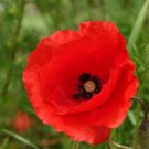 Flanders Red Poppy Papaver rhoeas - 1500 Seeds