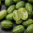 Mouse Melon Sandíita Melothria scabra Heirloom - 20 Seeds