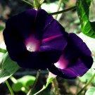 Morning Glory 'Kniola's Black'  Ipomoea purpurea - 10 Seeds