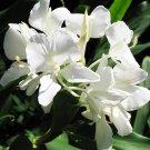 Butterfly Ginger Hedychium coronarium - 10 Seeds