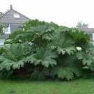 Giant Ornamental Rubarb Dinosoaur Food Gunnera Manicata - 10 Seeds