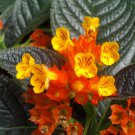 Sunset Bells Chrysothemis pulchella - 30 Seeds