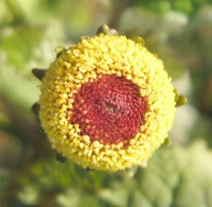 Peek a Boo Eyeball Plant Spilanthes oleracea - 50 Seeds