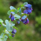 Blue Shrimp Plant Honeywort Cerinthe Major Purpurasces – 12 Seeds