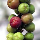 Tropical Sea Grape Coccoloba uvifera - 10 Seeds