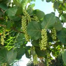Tropical Sea Grape Edible Coccoloba uvifera - 10 Seeds