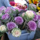 Ornamental Cabbage Cutflower Kale Mix Brassica oleracea - 20 Seeds