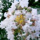 Snow White Crape Myrtle Lagerstroemia indica var. alba - 25 Seeds