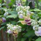 Rare True Corkscrew Shell Vine Cochliasanthus Vigna Caracalla - 5 Seeds