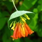 Orange Honeysuckle Lonicera ciliosa - 20 Seeds