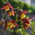 Japanese Columbine Aquilegia Buergeriana Oxysepala - 150 Seeds