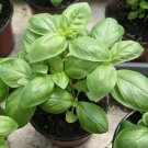 Organic Heirloom Kitchen Herb Genovese Sweet Basil Ocimum basilicum - 200 Seeds