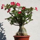 Adenium Desert Rose Red Bonsai - 10 Seeds