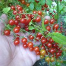 Rare Organic Heirloom Tiny Jewel Wild Tomato Solanum pimpinellifolium – 25 Seeds