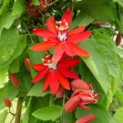 Scarlet Passion Flower Red Granadilla Passiflora coccinea - 5 Seeds