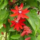Scarlet Passion Flower Red Granadilla Passiflora coccinea - 5 Seeds