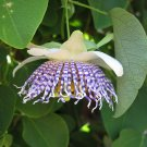 Rare Sea Anemone Passion Flower Passiflora Actinia - 10 Seeds