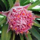 Rare Chilean Bromeliad Ochagavia carnea - 10 Seeds