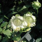 White Cathedral Bells Cup And Saucer Vine Cobaea Scandens alba - 10 Seeds