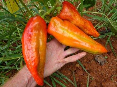 Giant 'Aconcagua' Sweet Pepper Chili Capsicum annuum - 20 Seeds