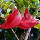 Humming Bird Tree Sesbania Grandiflora – 10 Seeds