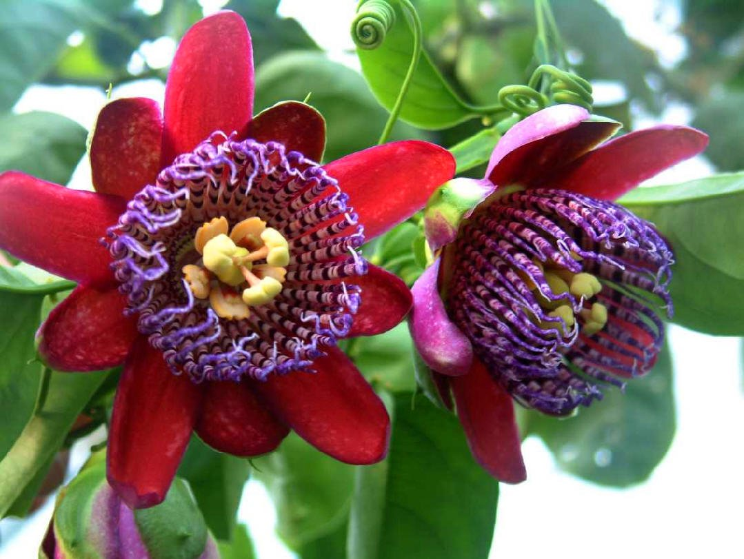 Barbadine Giant Granadilla Passiflora quadrangularis 5 Seeds