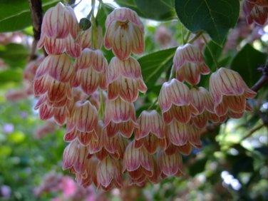 Redvein Enkianthus Enkianthus campanulatus - 15 Seeds