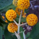 Rare Buddleia Orange Ball Buddleja globosa - 25 Seeds