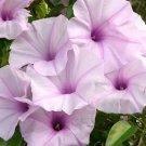 Rare Pink Morning Glory Bush (not vine) Ipomoea carnea - 10 Seeds
