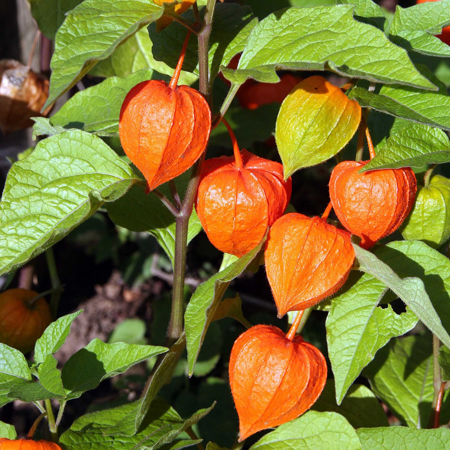 winter cherry physalis alkekengi franchetii 50 seeds. Black Bedroom Furniture Sets. Home Design Ideas