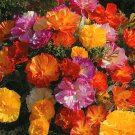 Jelly Beans California Poppy Eschscholzia californica - 20 Seeds