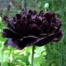 Black Peony Poppy Papaver Somniferum Paeoniflorum 'Black Paeony' - 50 Seeds