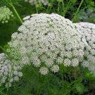 Organic Herb White Queens Lace Khella Ammi visnaga - 100 Seeds