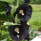 Tall Hollyhock Black Flower Alcea Rosea Nigra - 25 Seeds