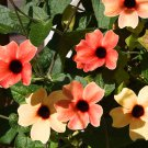Black-Eyed Susan Vine 'African Sunset' Thunbergia alata - 10 Seeds