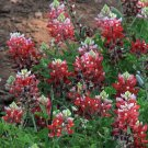 Texas A&M Parson's Red Bluebonnet Lupinus texensis - 20 Seeds