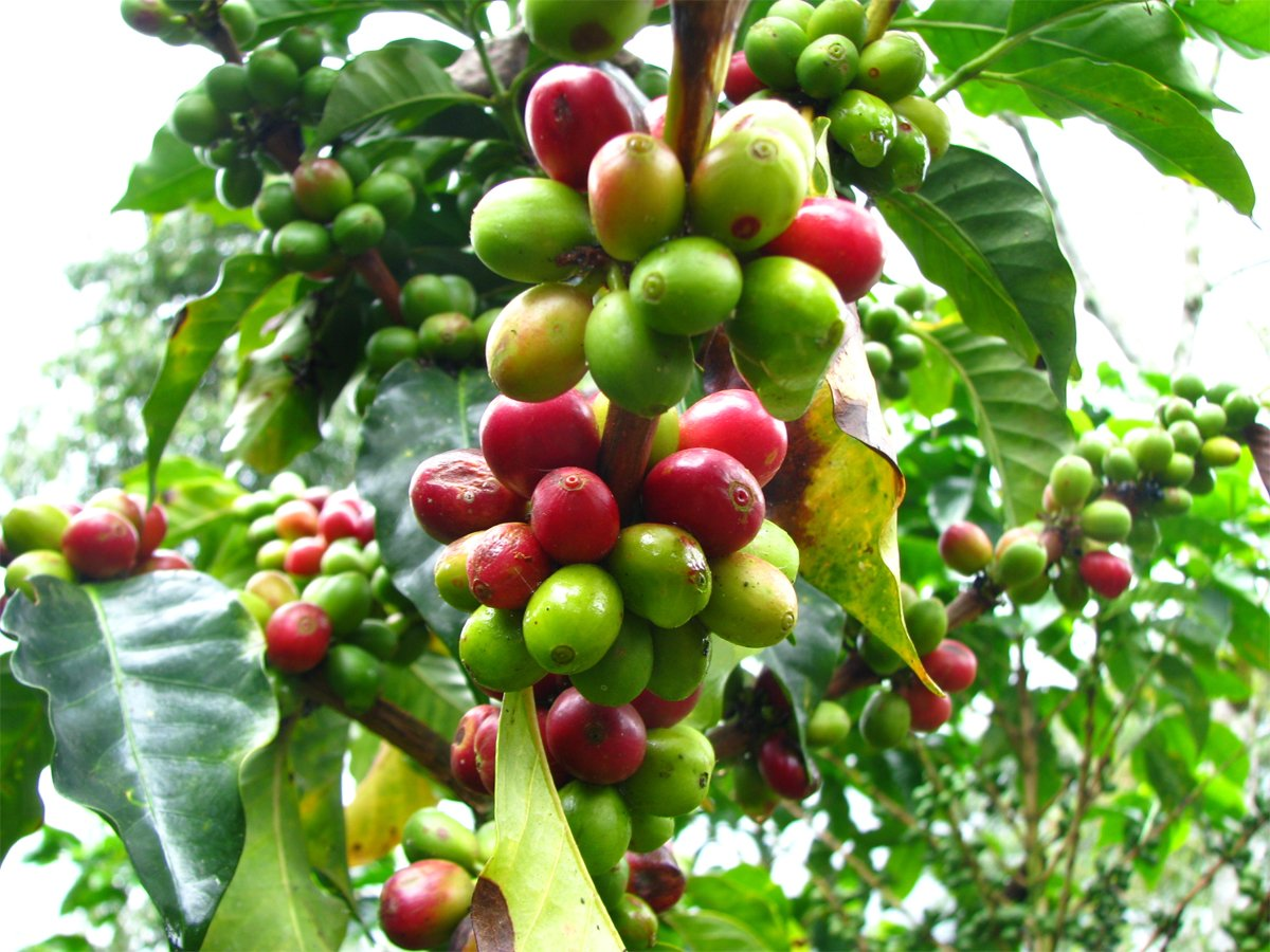 Grow your own coffee plant uk