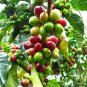 Kona Coffee Plant Coffea Arabica Kona Hawaii - 20 Fresh Seeds