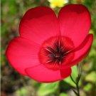 Stunning Scarlet Flax Linum Grandiflorum Rubrum - 250 Seeds