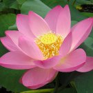 Pink Sacred Water Lily Lotus Nelumbo nucifera - 5 Seeds