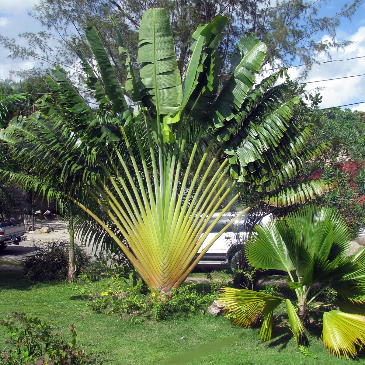 Travelers Tree Ravenala madagascariensis - 10 Seeds